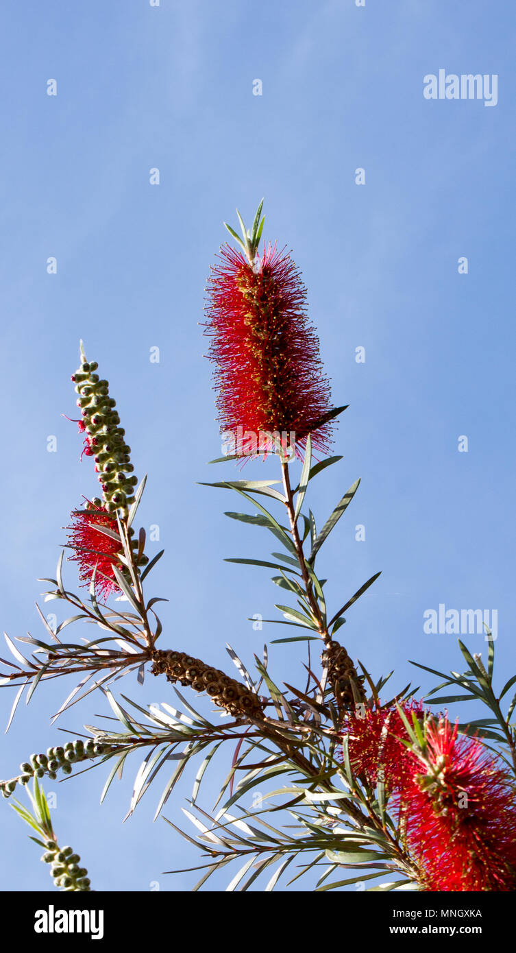 Calistemon montanus is a genus of shrubs in the family myrtaceae. On the background is blue sky. - Stock Image