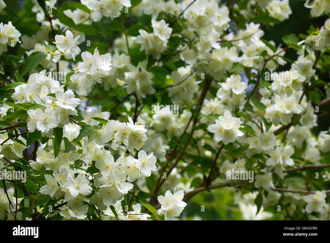 Syringa philadelphus is luxurious virgin fragrant flower of syringa philadelphus is luxurious virgin fragrant flower of beginning of summer snow white flower jasmin wedding wreath mightylinksfo