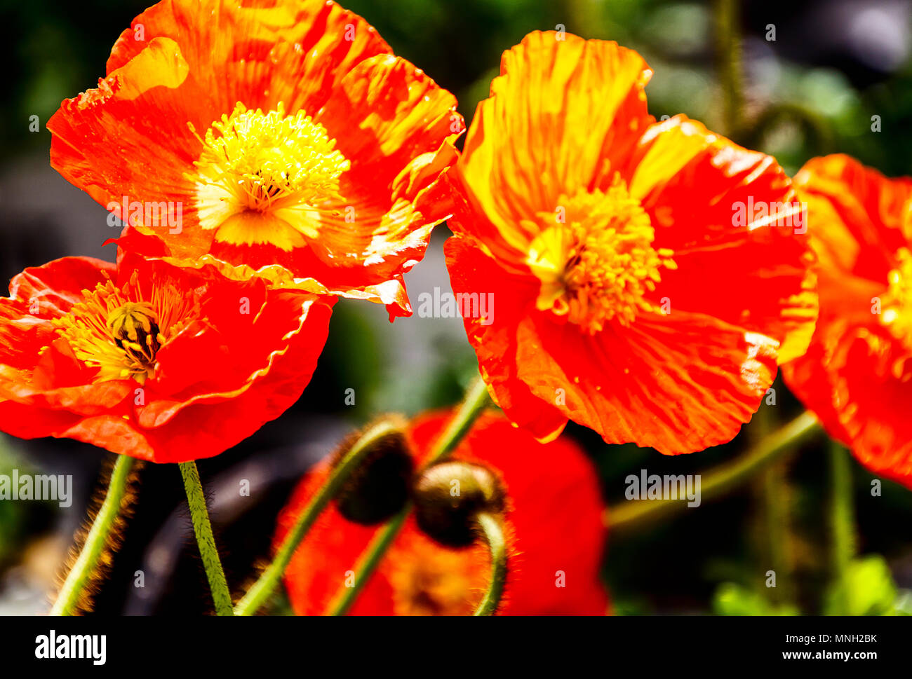 Iceland poppies really pretty flowers which come in so many iceland poppies really pretty flowers which come in so many beautiful colours mightylinksfo