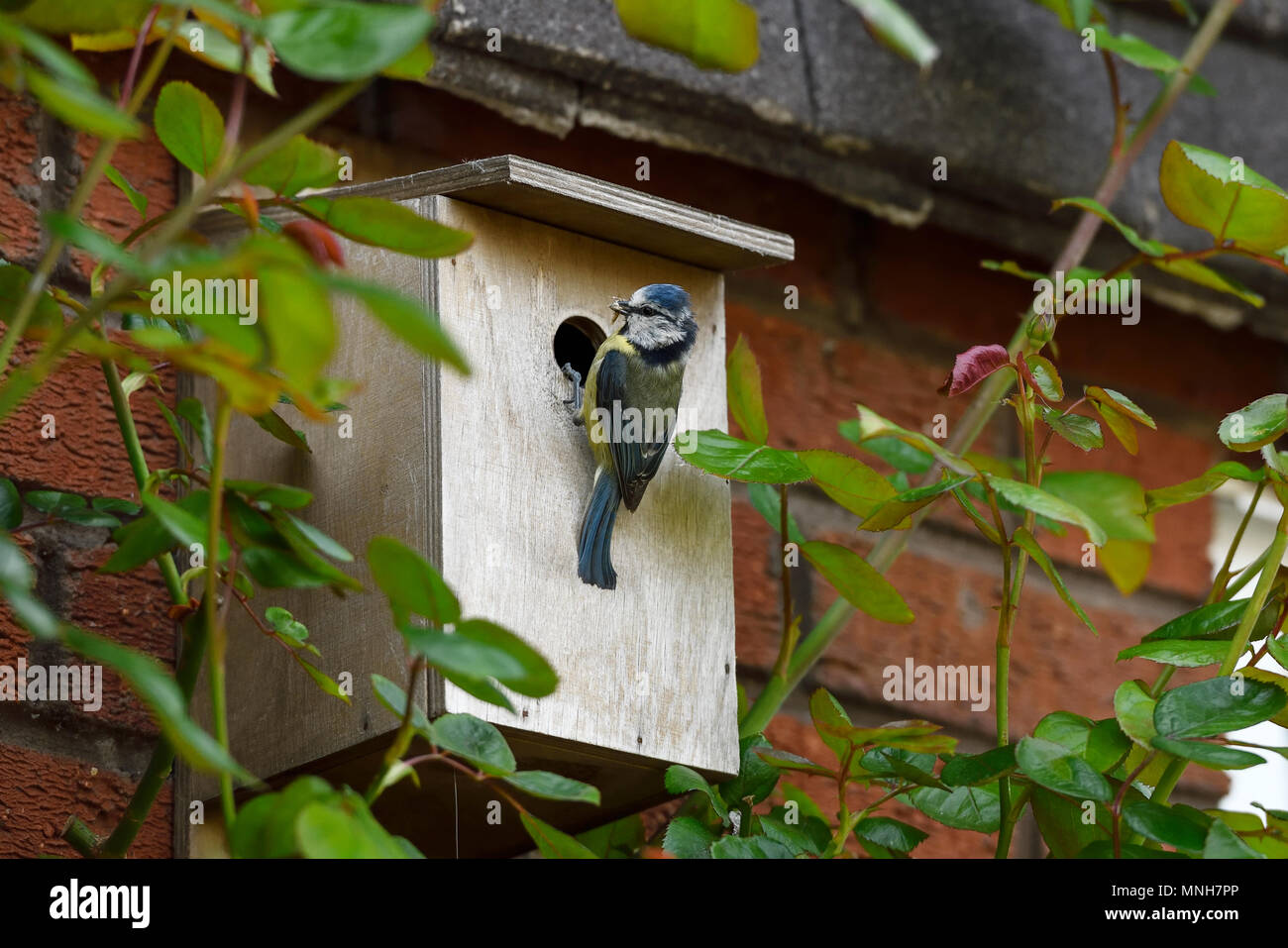 Northwich, Cheshire, UK. 17th May 2018. A blue tit arrives with food at a wooden nesting box on the side of a house. ©Andrew Paterson/Alamy Live News - Stock Image