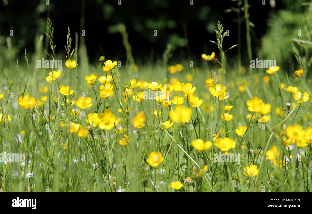Shepherds Bush, London, UK. 17th May 2018.  UK Weather. Buttercups in flower enjoying the sunshine in green grass - Stock Image