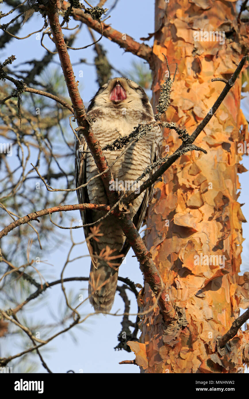 Northern Hawk Owl in a tree in Finland - Stock Image