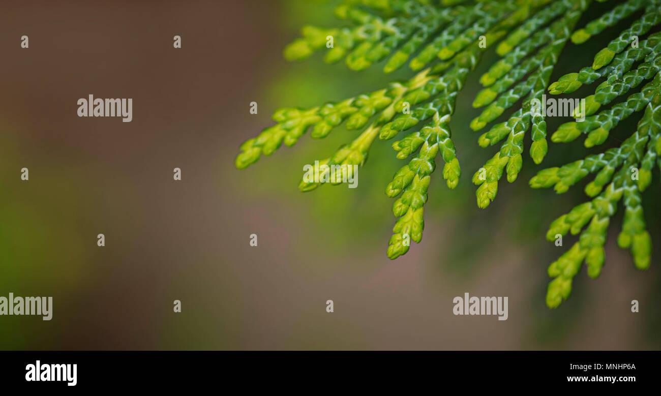Green macro thuja branch background - Stock Image