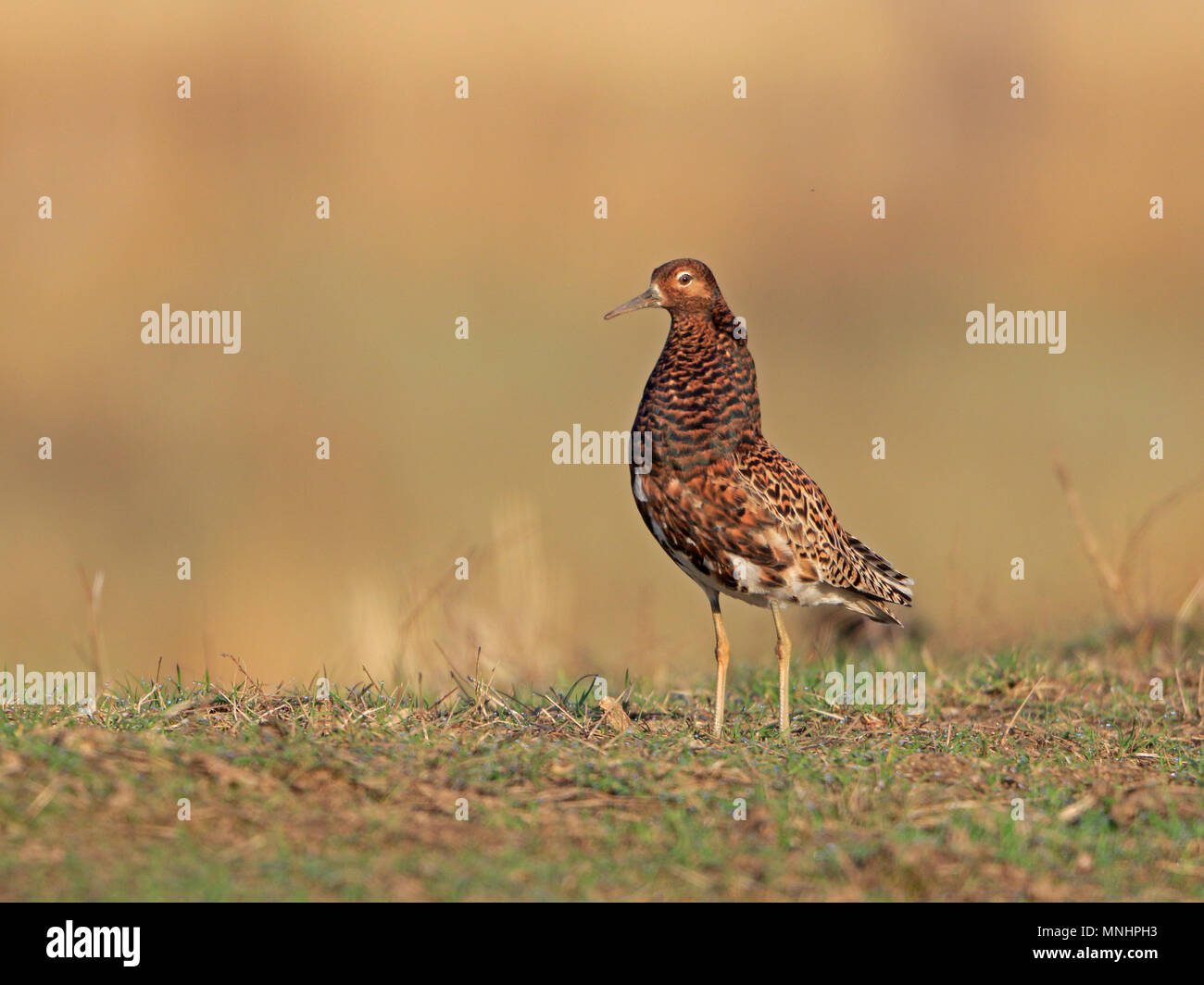 Male Ruff on a lek in Finland - Stock Image