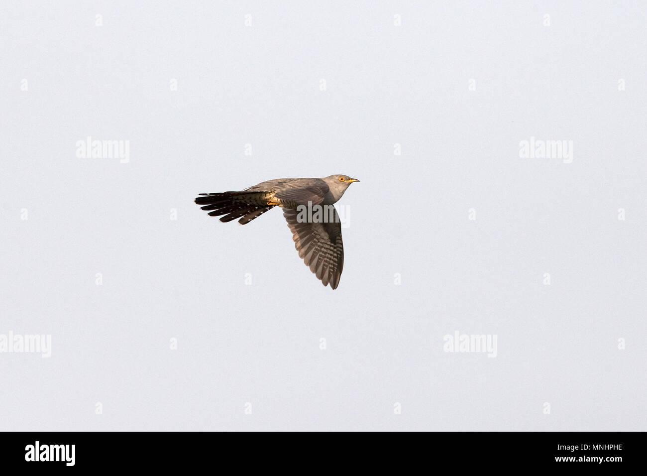 Cuckoo (Cuculus canorus) - Stock Image