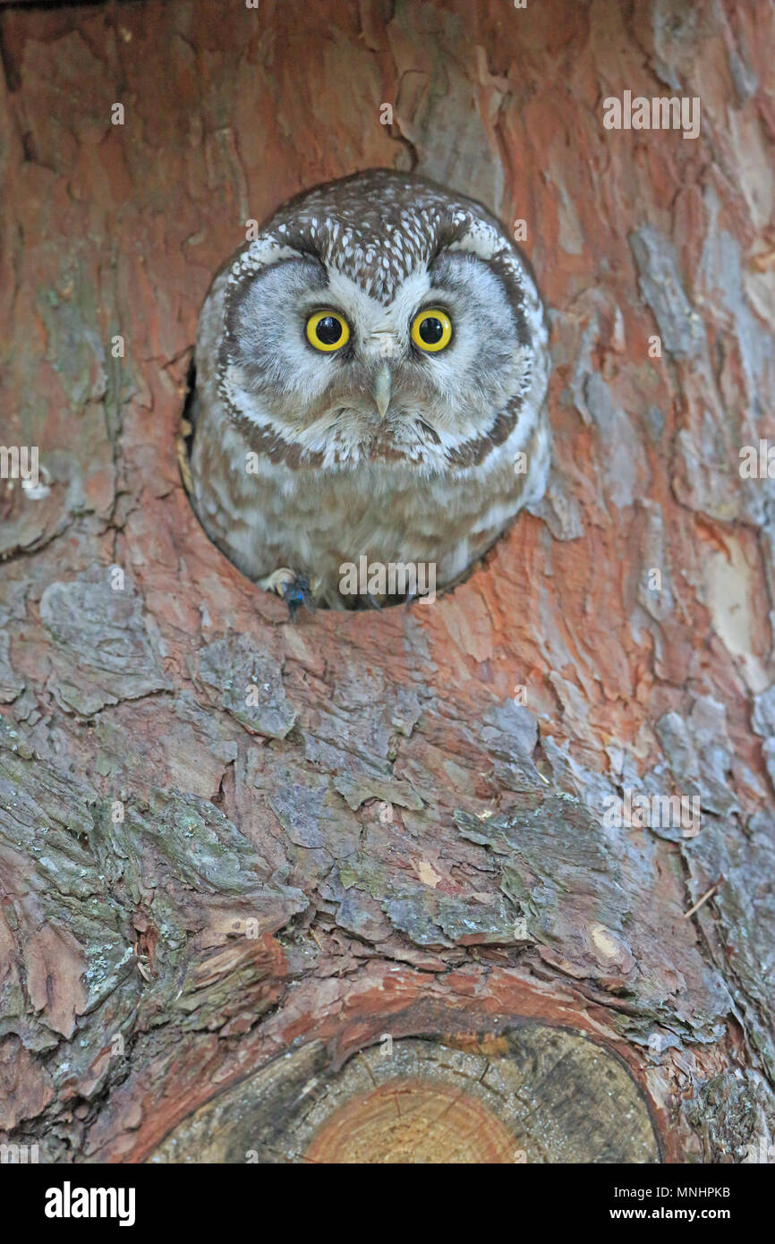 Tengmalm's Owl looking out of a nest box in Finland - Stock Image