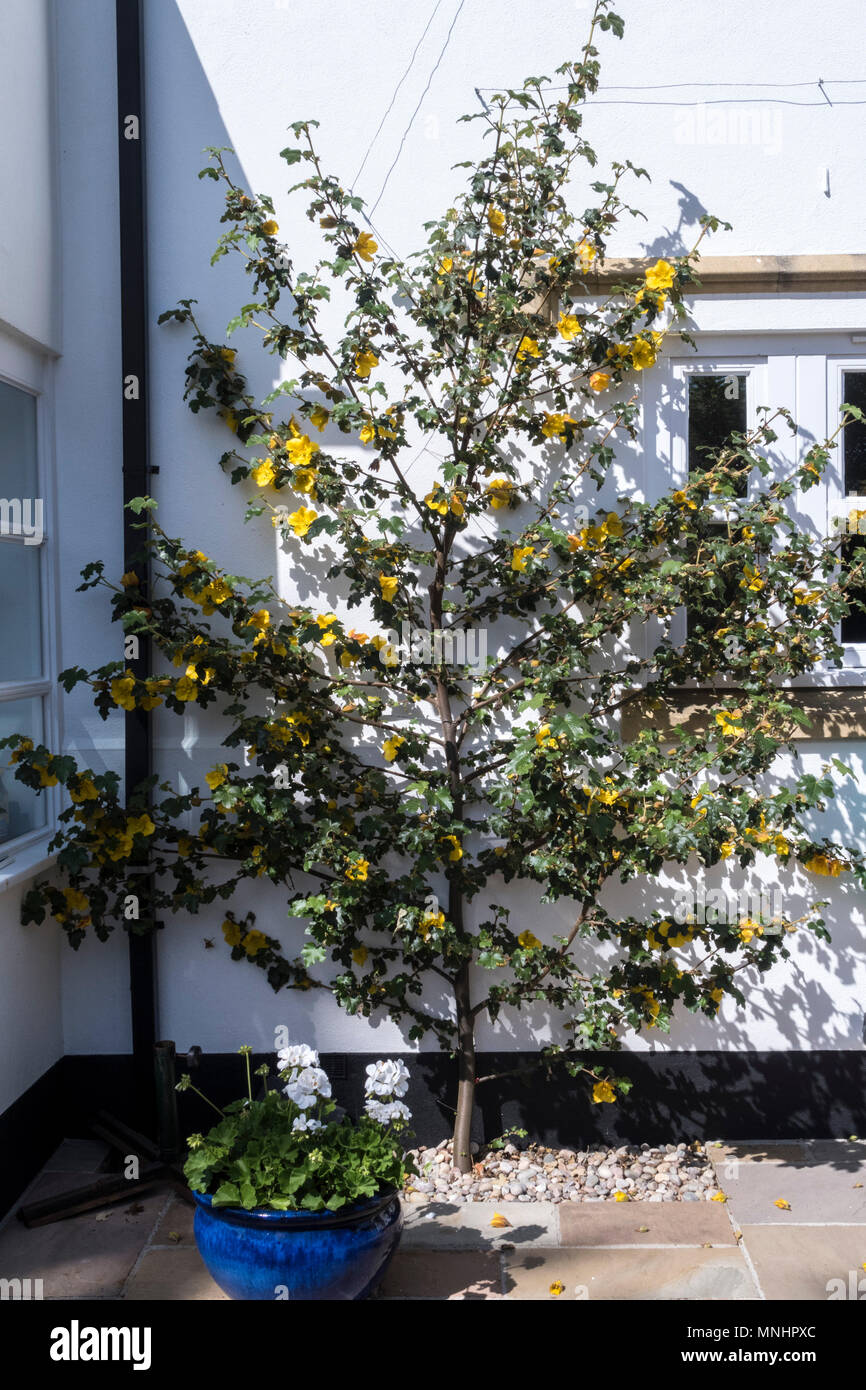 Fremontodendron California Glory growing on wire up the white wall of a house - Stock Image