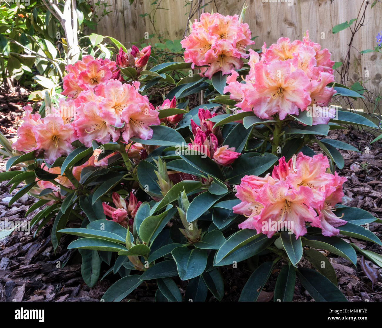 Rhododendron hybrid Sun Fire, which will grow in neutral as well as acidic soils. - Stock Image