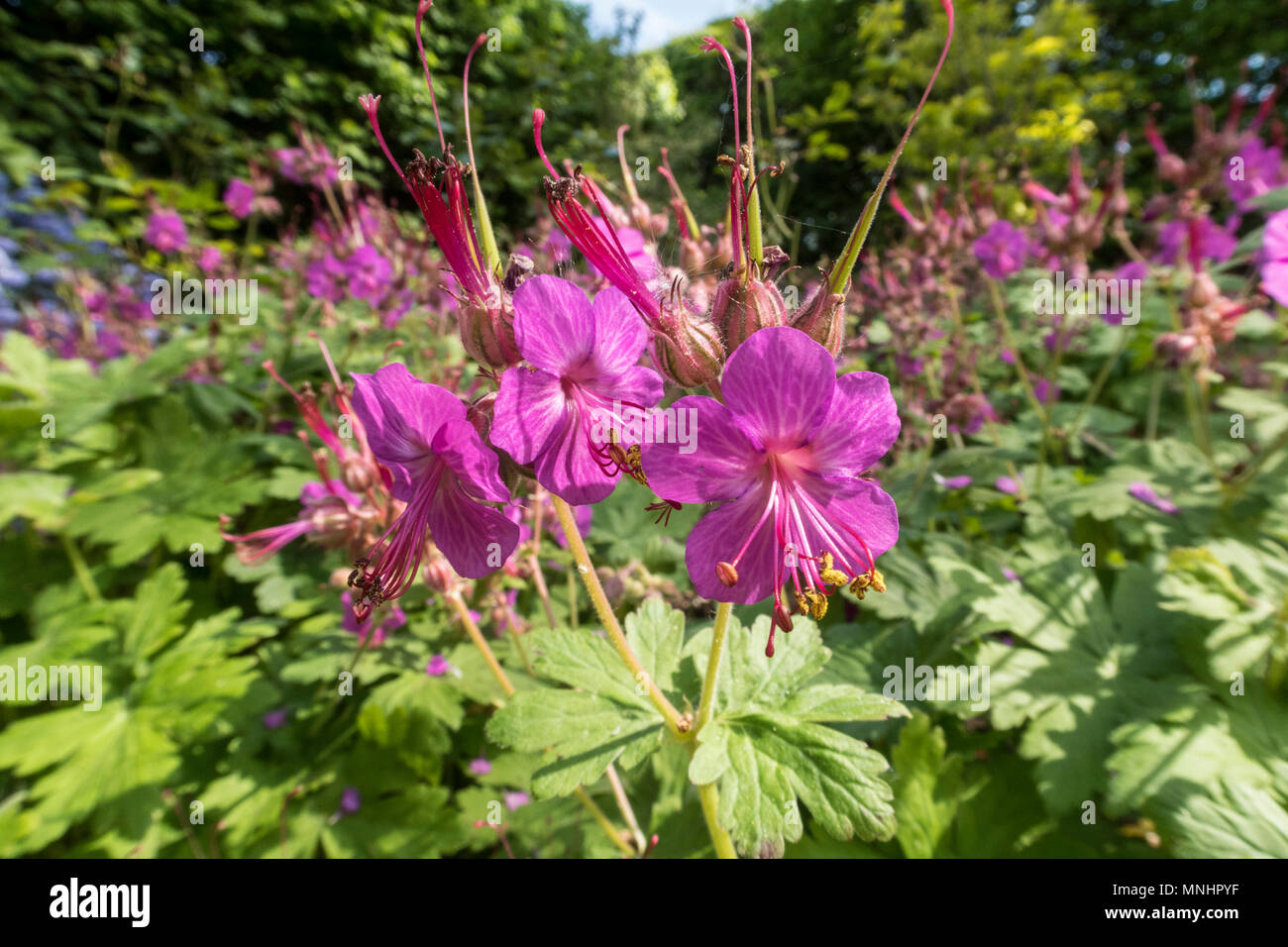 Geranium macrorrhizum providing ground cover in a Devon garden. - Stock Image