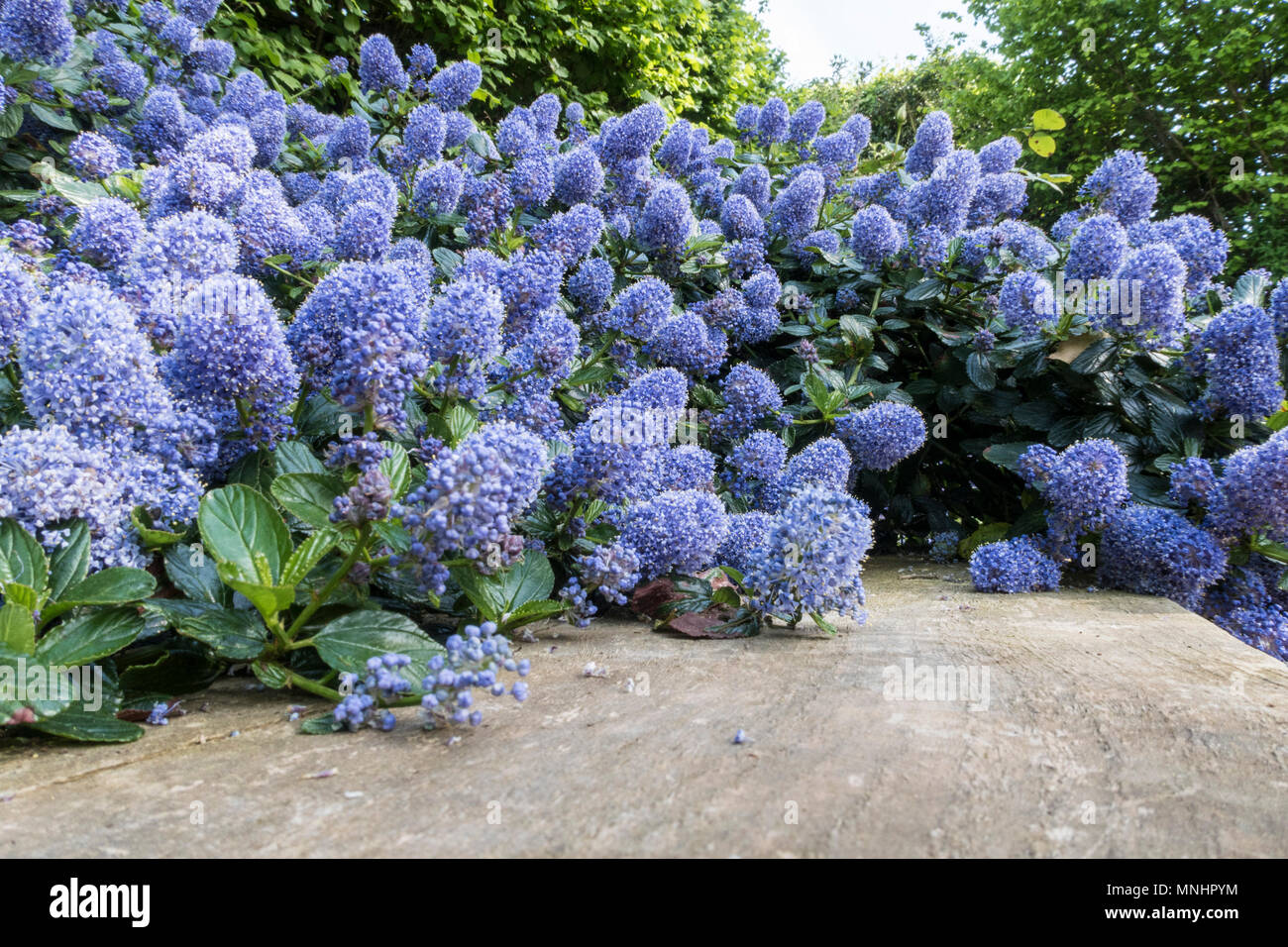 Ceanothus thyrsiflorus repens growing along and down a wall of railway sleepers. - Stock Image