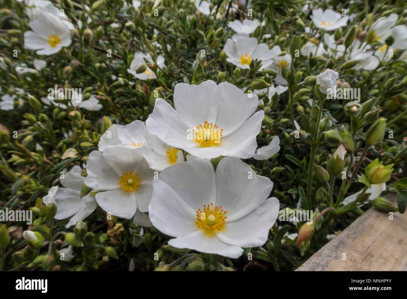 Sahuc Rock Rose, halimiocistus sahucii, grown as ground cover in a Devon garden. - Stock Image