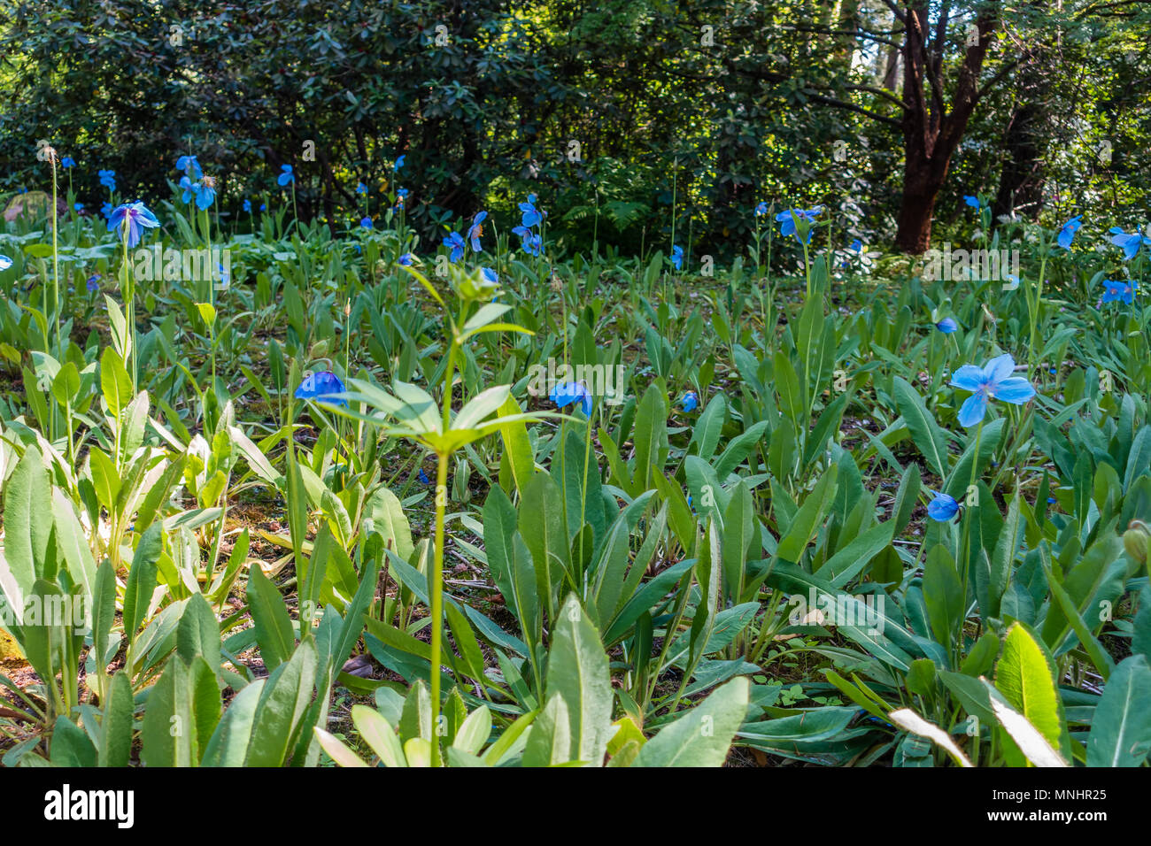 a view of a field of blue flowers in federal way washington stock