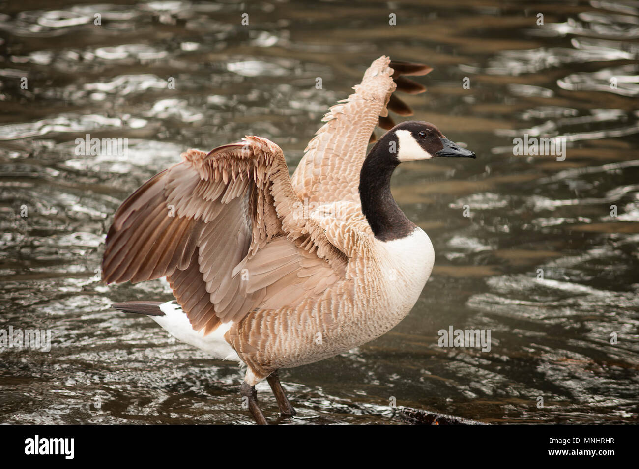 A Canada goose stand on the edge of a pond airing his expanded wings. - Stock Image