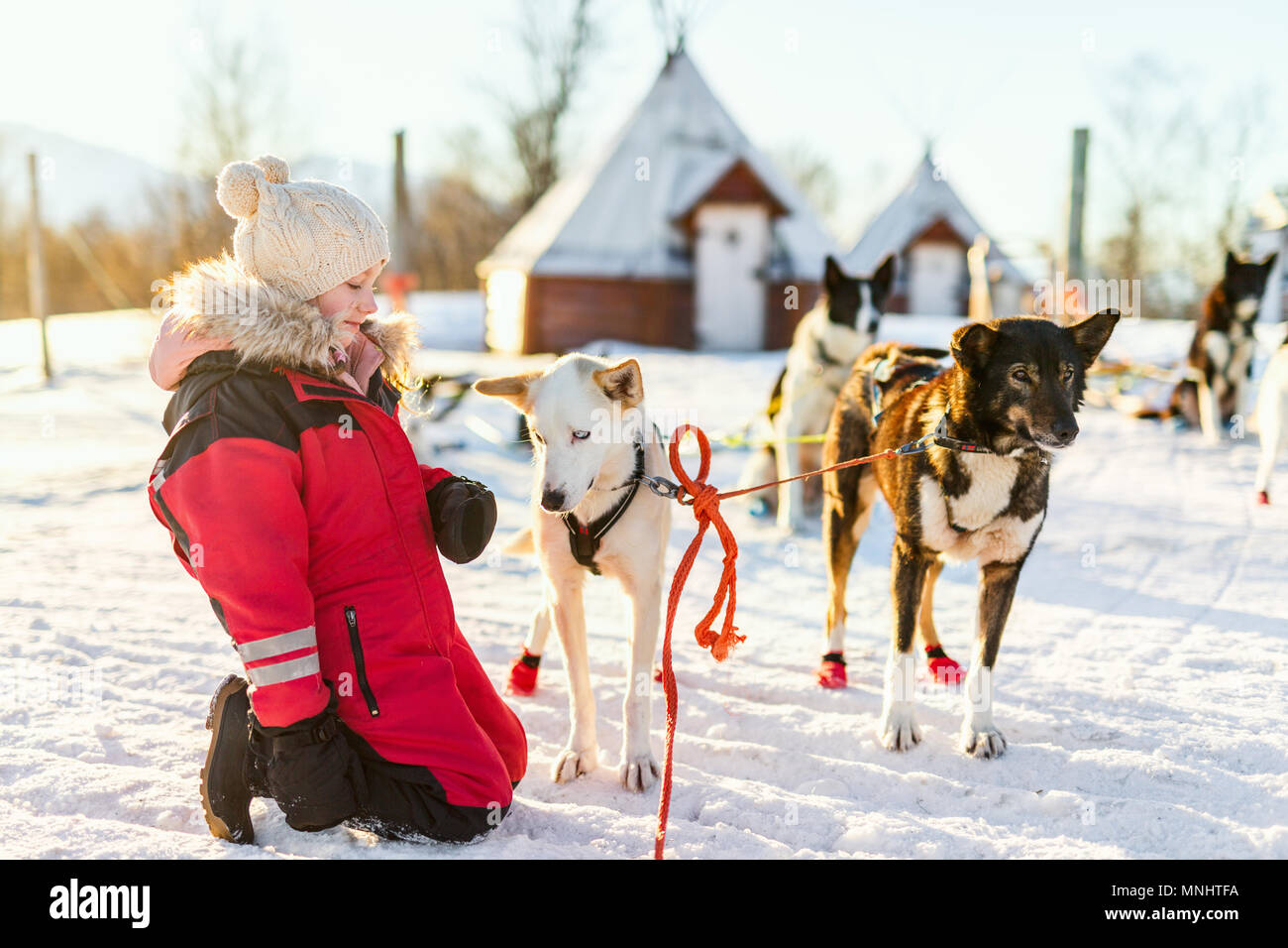 Sled Dog In Kennel Stock Photos Images Snow Hd Wiring Harness Adorable Girl Having A Cuddle With Husky Farm Northern Norway