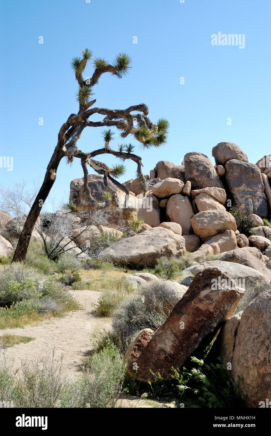 Joshua tree, Yucca brevifolia, Yucca palm, Monzogranite rock pile, Wild Flowers, West entrance area, Joshua Tree National Park, CA 040410_0660 - Stock Image