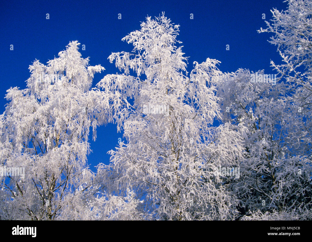 FROST IN TREE against sky 2010 - Stock Image