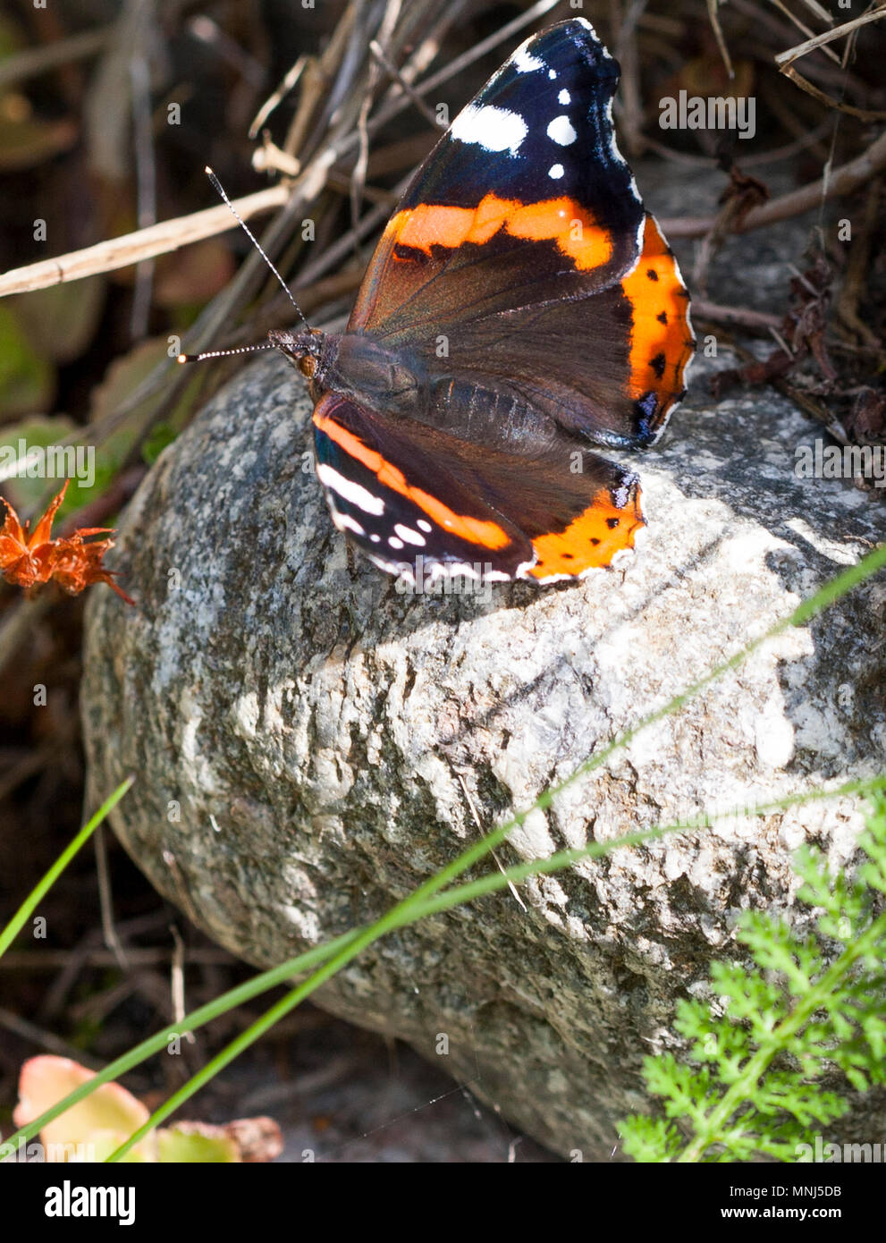 VANESSA ATALANTA Butterfly 2018 the red admiral - Stock Image