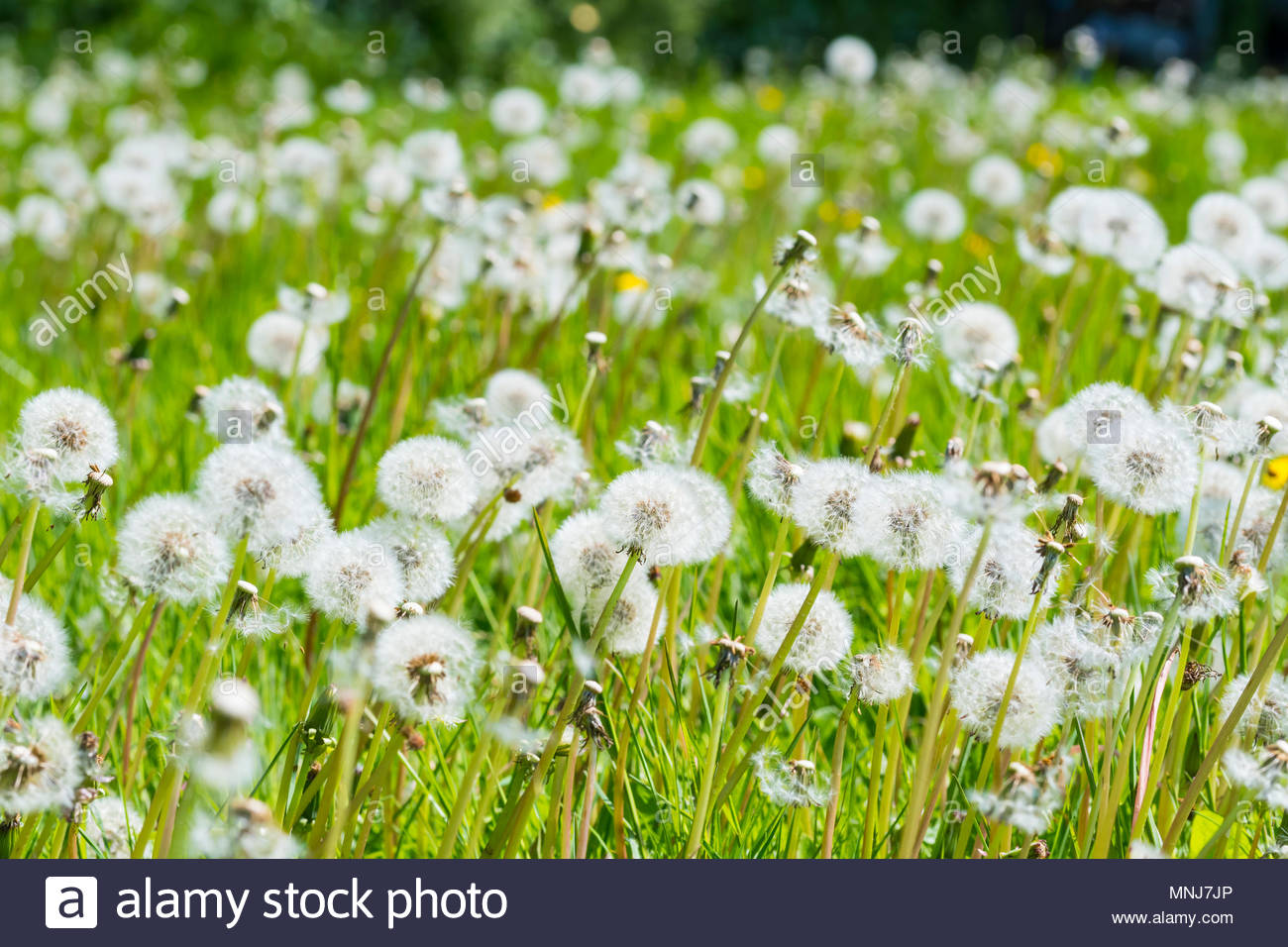Carpet of white Common Dandelion Seed Heads (Taraxacum), AKA Dandelion Clocks, growing in grassland in late Spring in the UK. - Stock Image