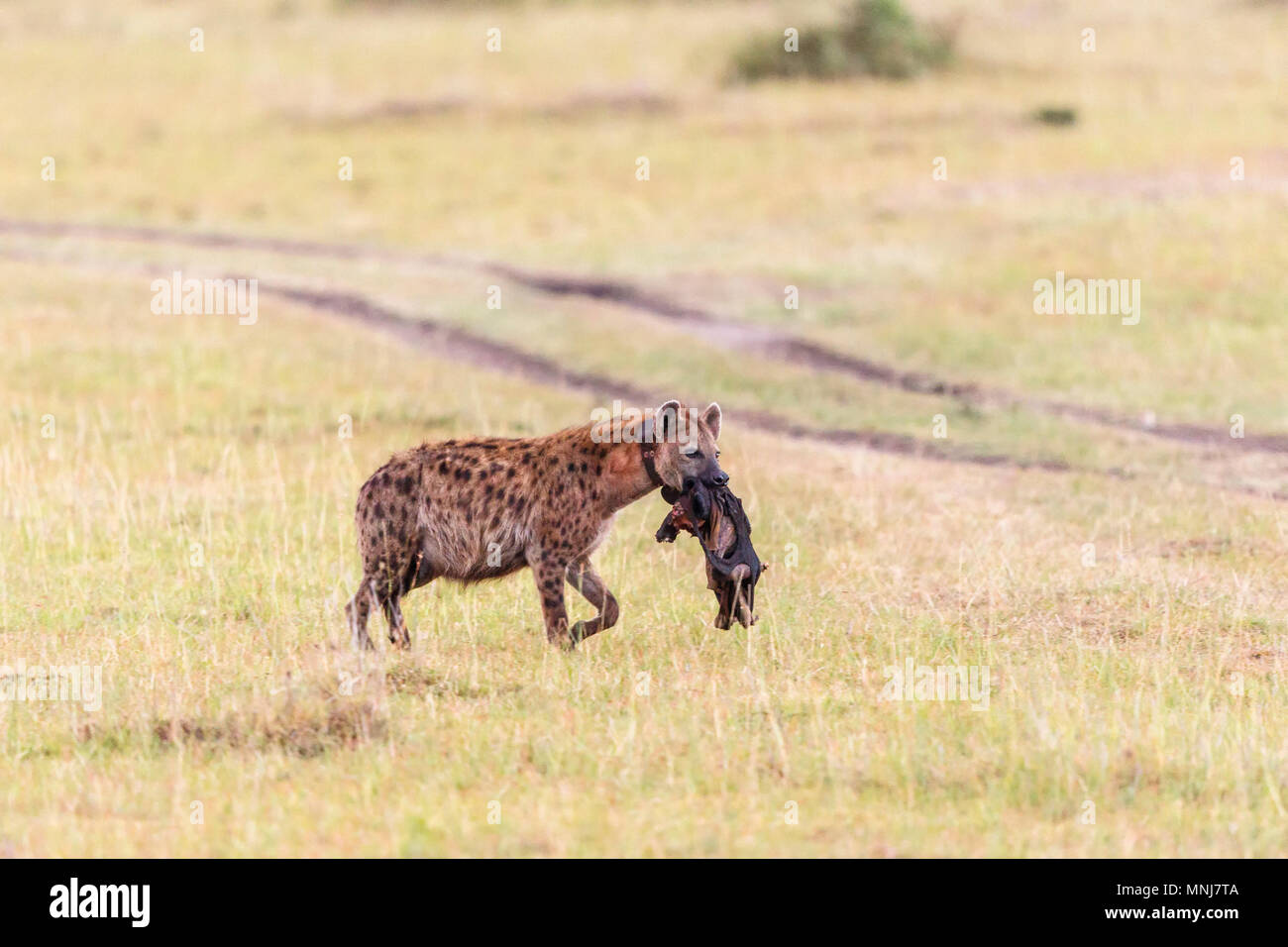 Hyena with tracking collar carrying an animal prey - Stock Image