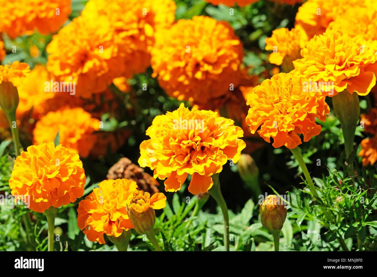 Beautiful orange marigold flowers, Orange Tagetes, Mainau Island Stock Photo