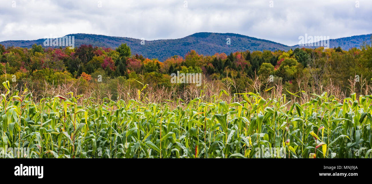banner photo of fall foliage with corn ready to harvest - Stock Image