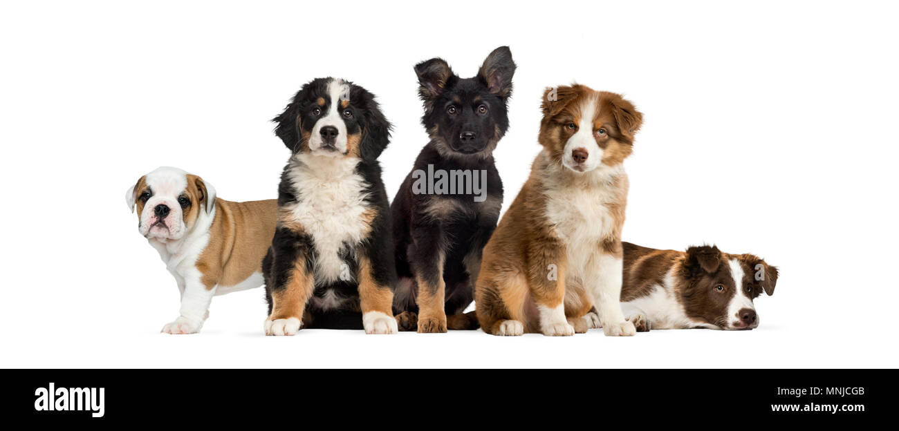 Group Of Puppies Sitting In Front Of A White Background Stock Photo