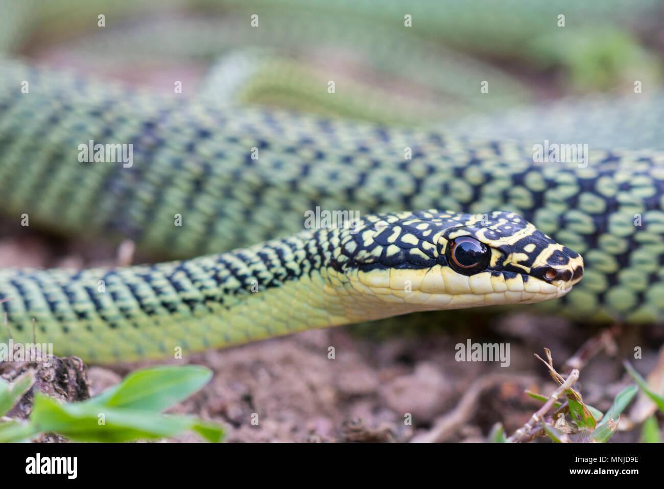 Very beautiful Golden Tree Snake (Chrysopelea ornate) in Krabi Thailand on a tree. - Stock Image