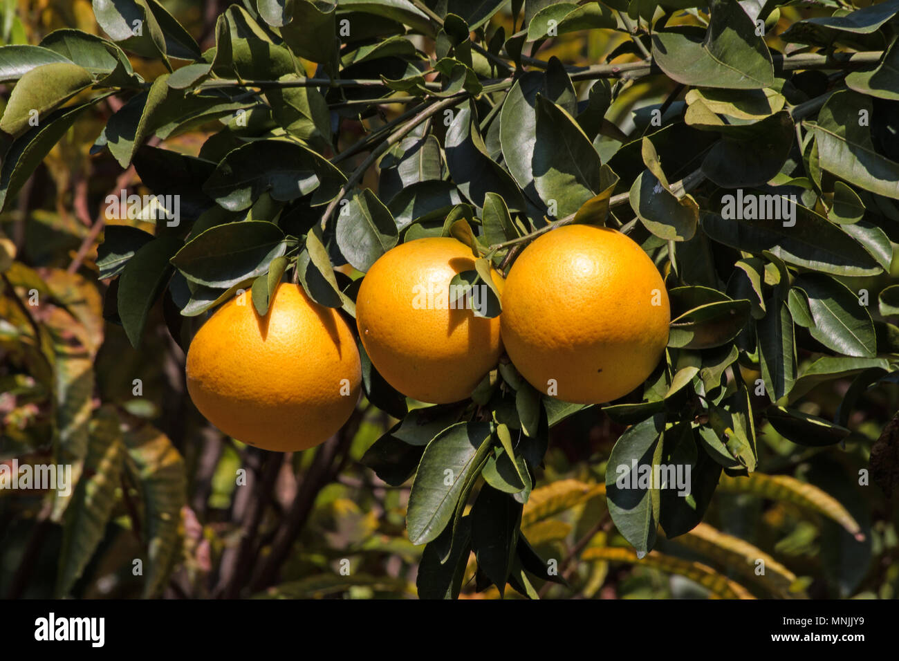Grapefruit hanging on the tree - Stock Image