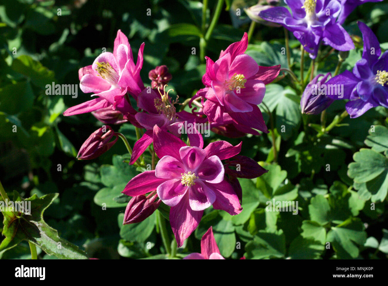 Close Up View Of Beautiful Pink And White Columbine Flowers In Full