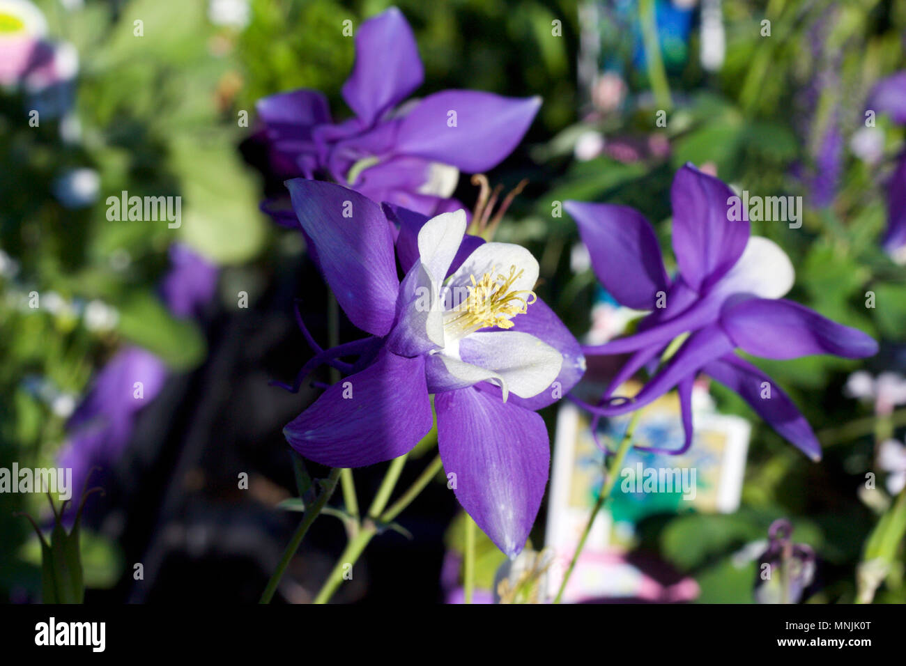 Close Up View Of Beautiful Purple And White Columbine Flowers In
