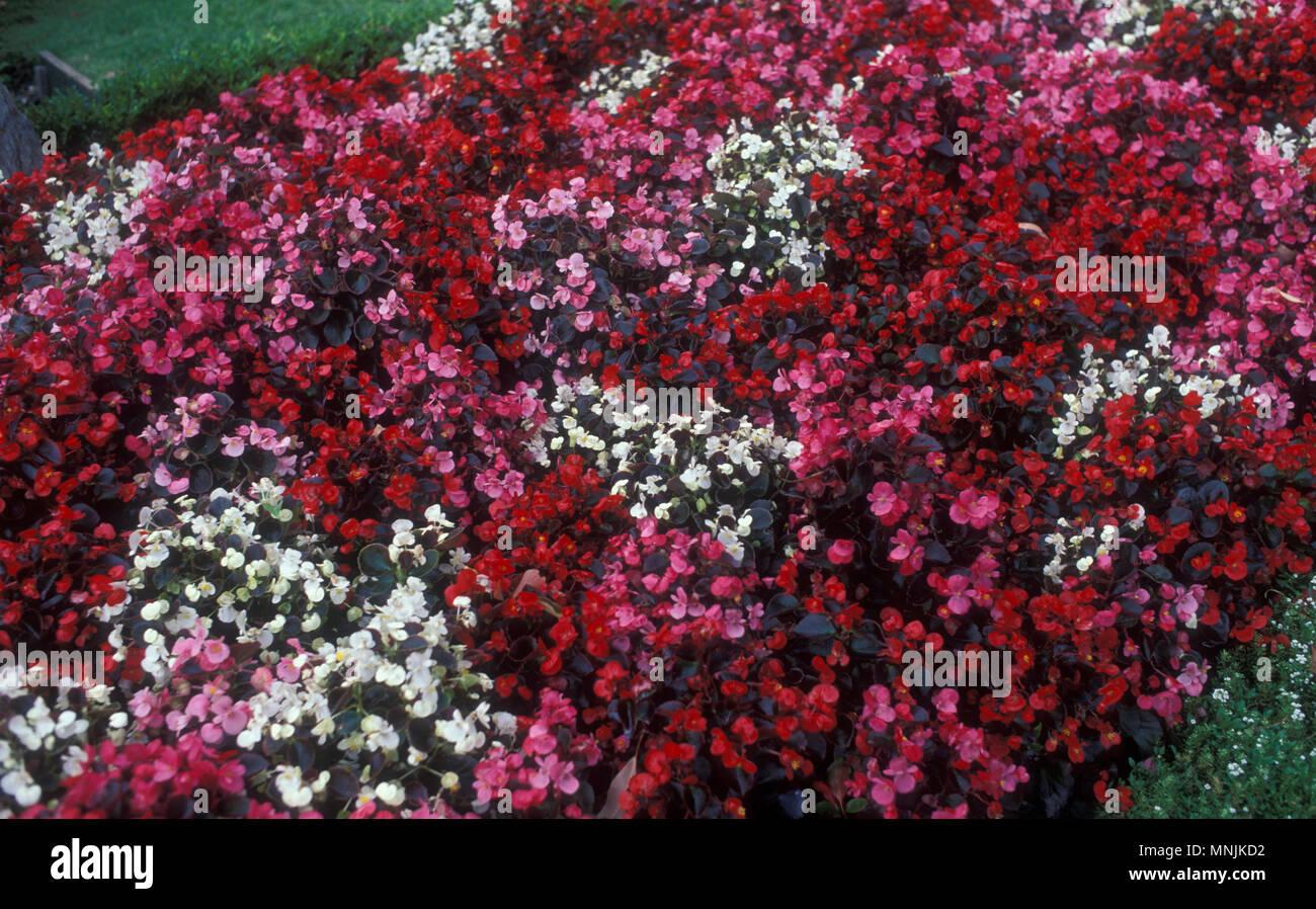 Bedding Begonias Stock Photos & Bedding Begonias Stock