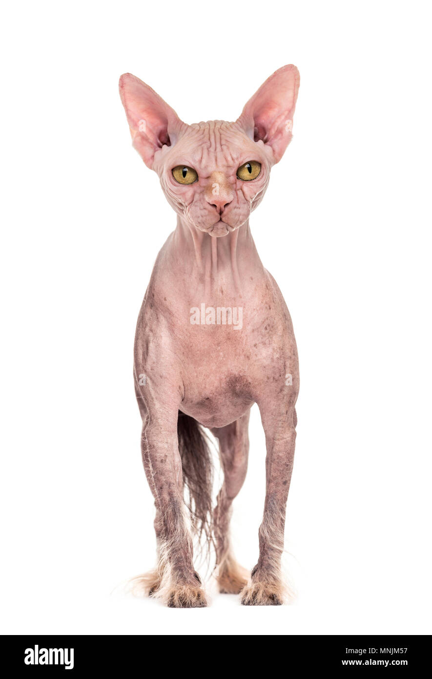Chimera With A Chinese Crested Dog And The Head Of A Sphinx Cat Against White Background Stock Photo Alamy