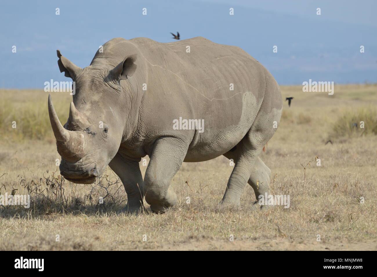 Adult rhino with complete horn walks in Nakuru National Park - Stock Image