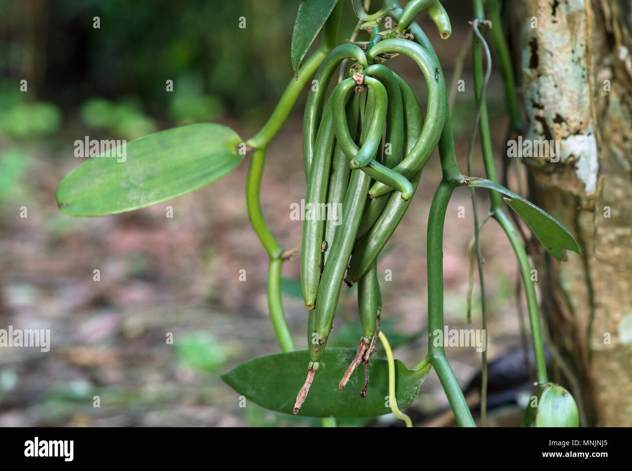 Green sheets of flat-leaved vanilla (Vanilla planifolia), Ankanin Ny Nofy, Madagascar - Stock Image
