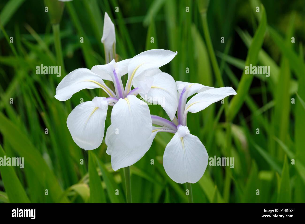 Close up of iris laevigata snowdrift japanese water iris flowers close up of iris laevigata snowdrift japanese water iris flowers in spring izmirmasajfo