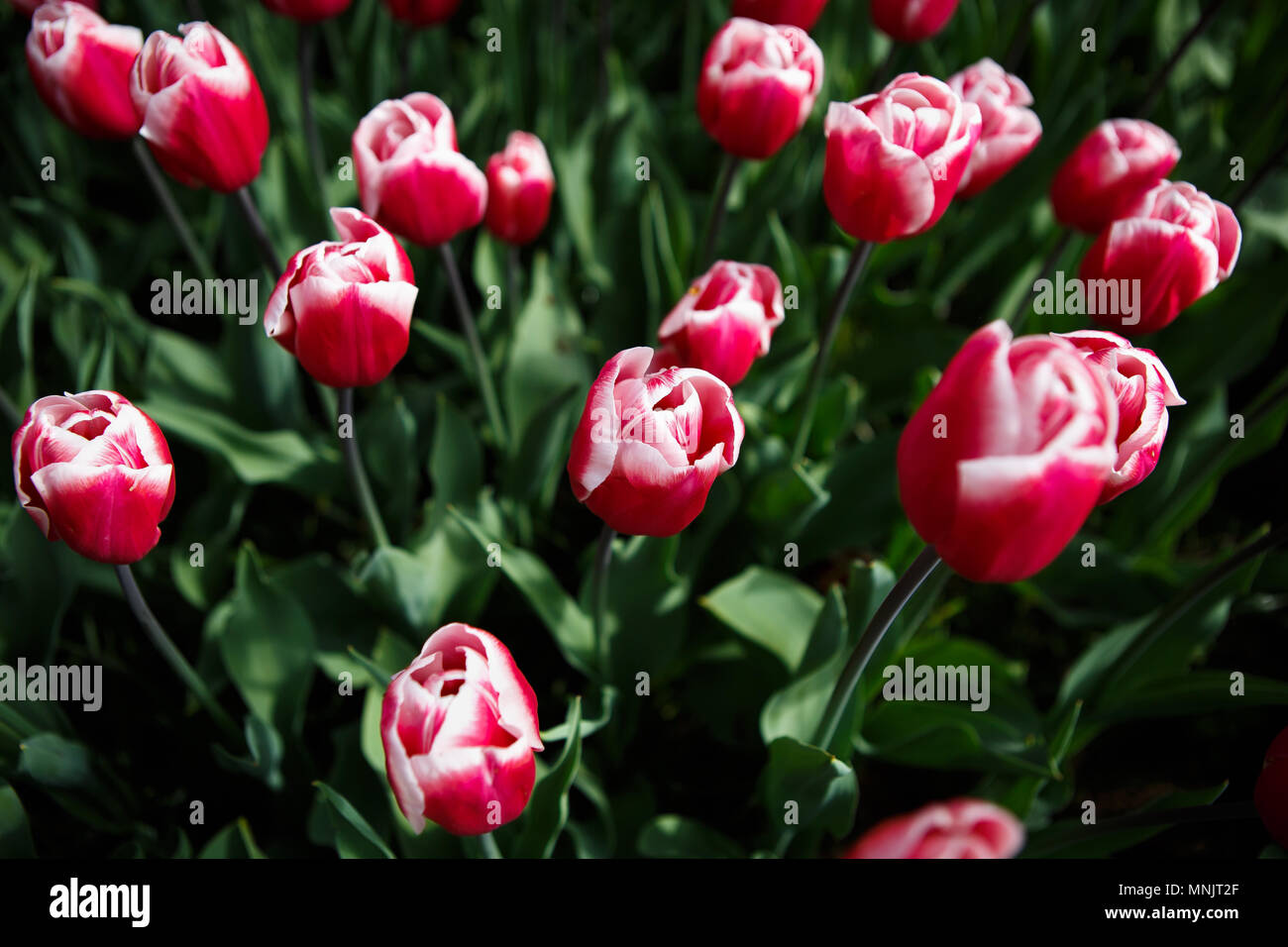 Beautiful Colorful Red White Tulip Flowers Bloom In Spring Garden