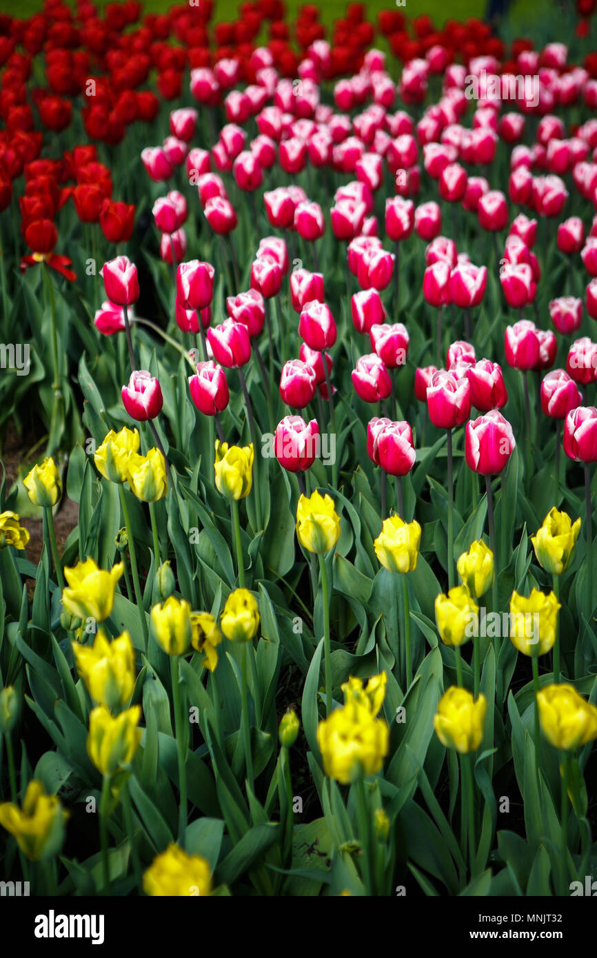 Beautiful colorful red tulips flowers bloom in spring garden.Decorative wallpaper with yellow tulip flower blossom in springtime.Beauty of nature post