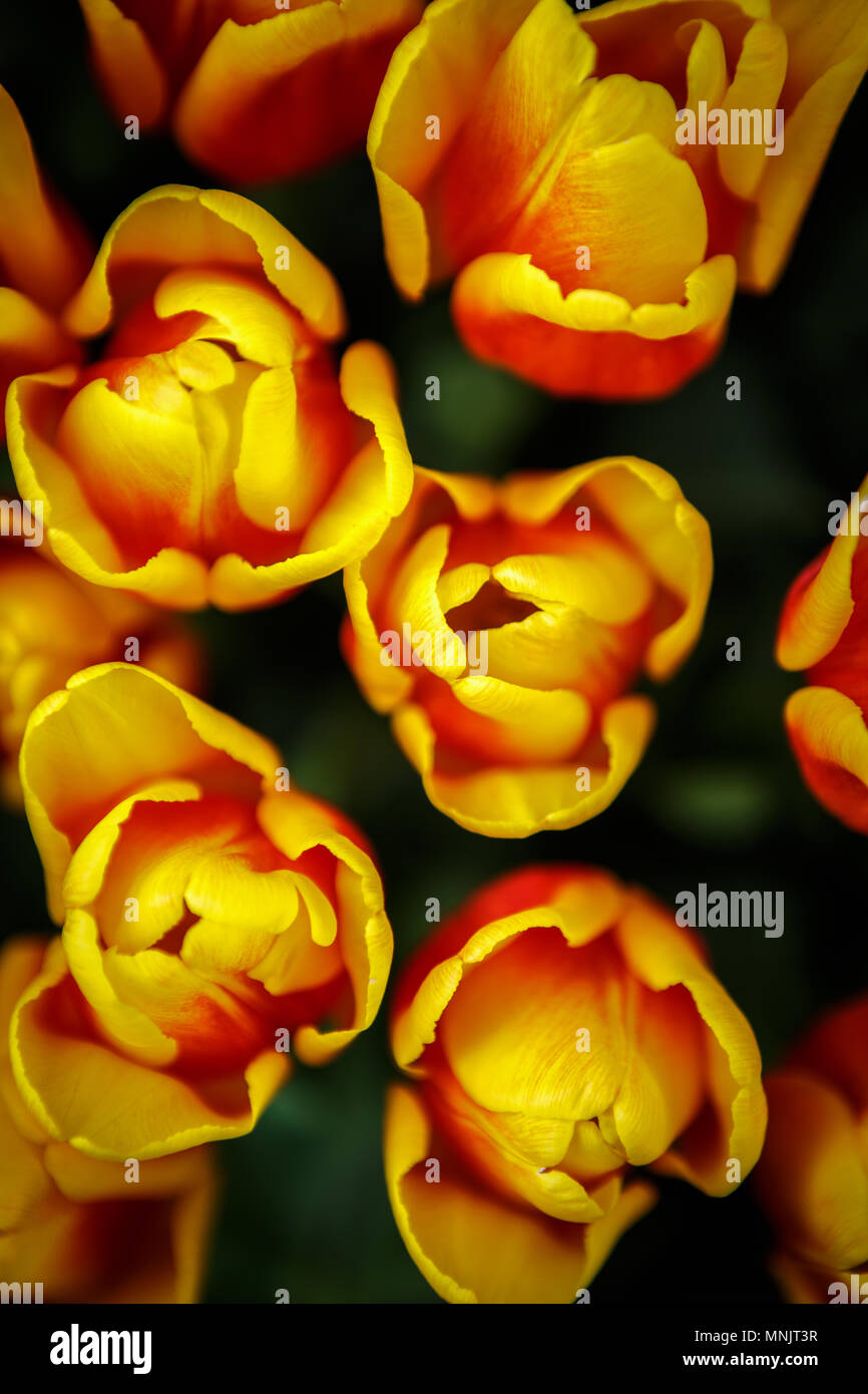 Beautiful colorful yellow & red tulips flowers bloom in spring garden.Decorative wallpaper with tulip flower blossom in springtime.Beauty of nature po Stock Photo