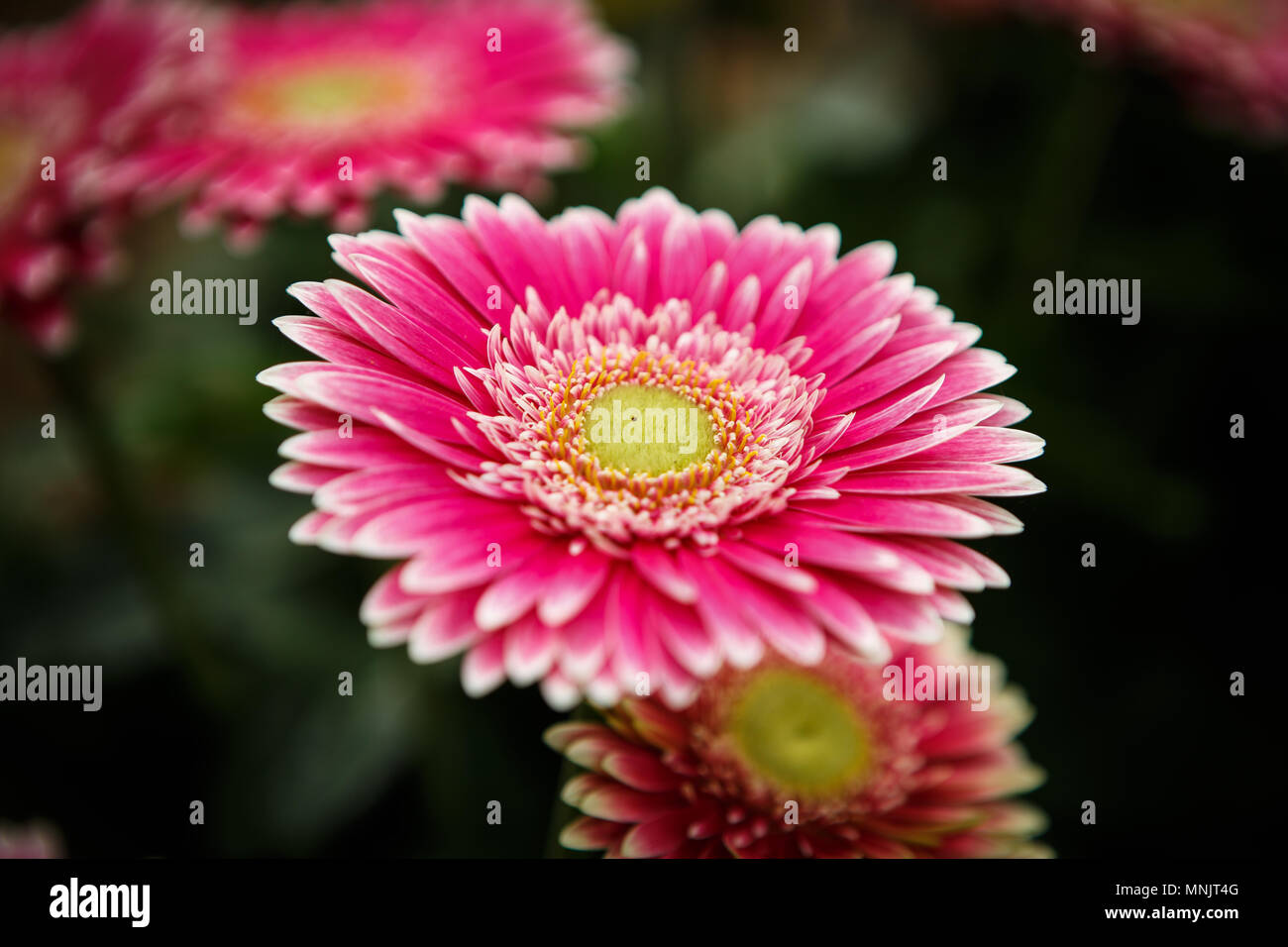 Beautiful colorful pink transvaal daisies flowers bloom in spring garden.Decorative wallpaper with gerbera flower blossom in springtime.Beauty of natu - Stock Image