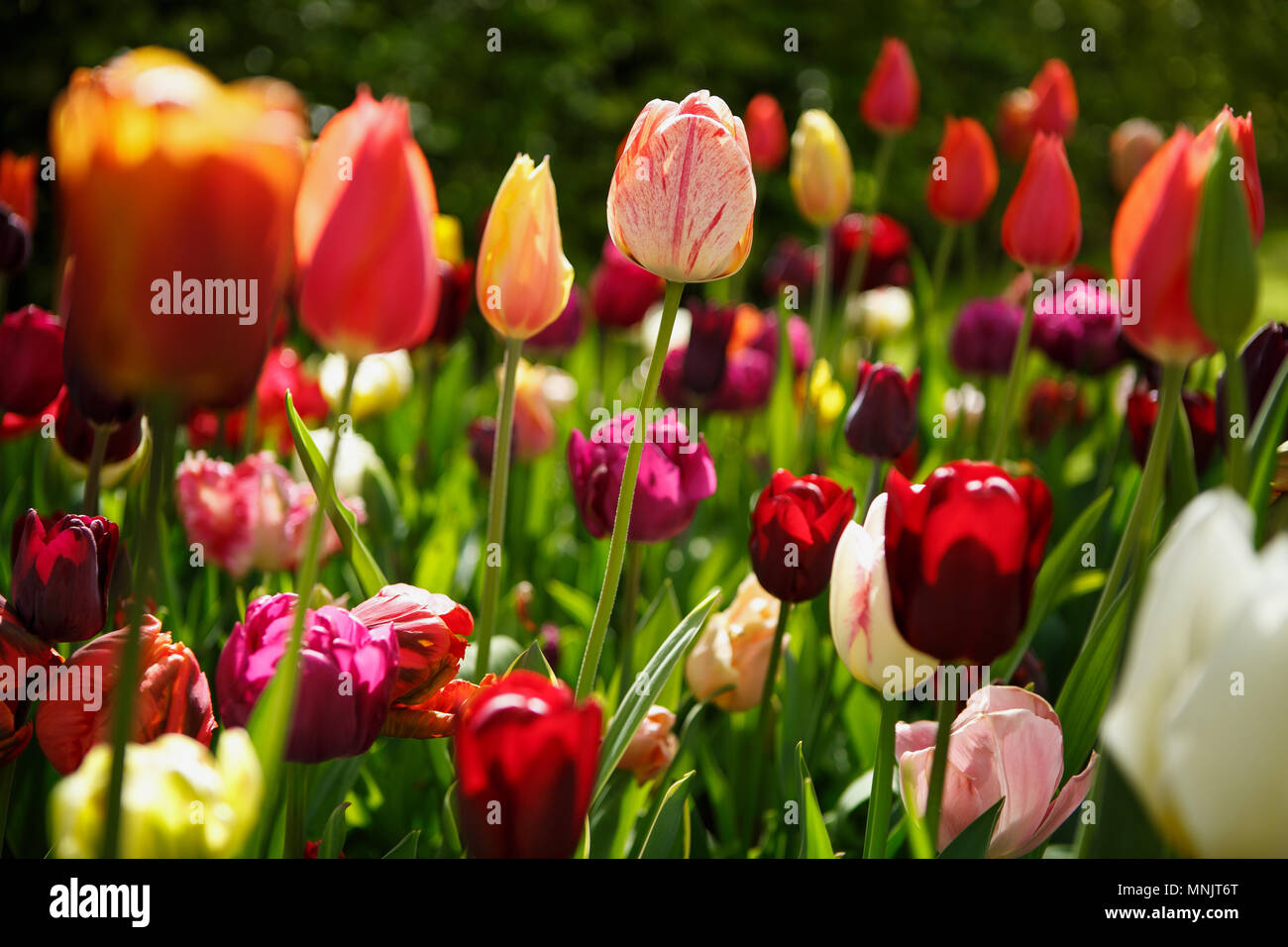 Beautiful Colorful Tulip Flowers Bloom In Spring Gardencorative
