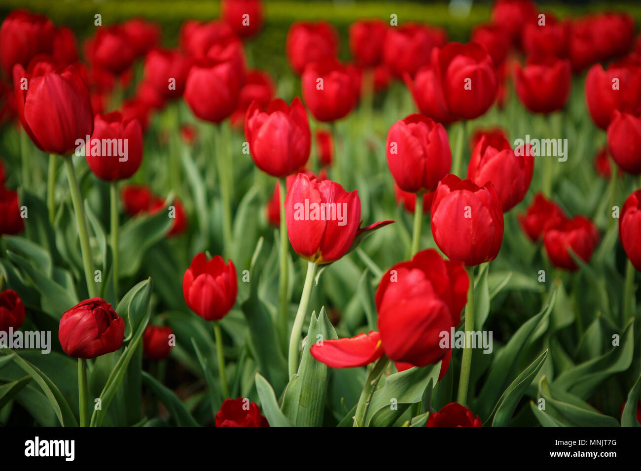 Beautiful Colorful Red Tulip Flowers Bloom In Spring Garden