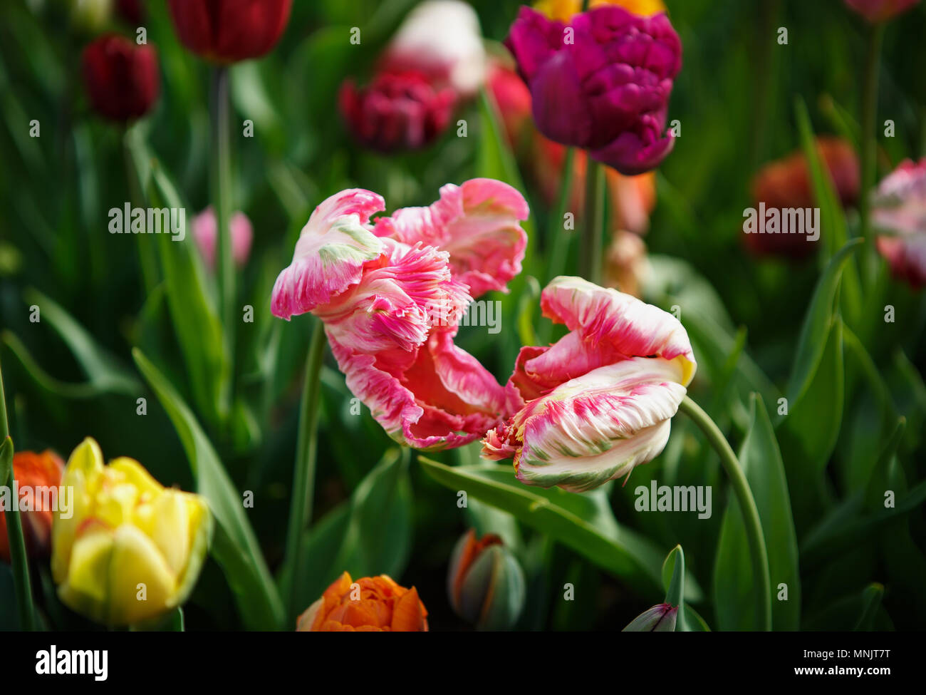 Beautiful Colorful Pink Tulip Flowers Bloom In Spring Garden