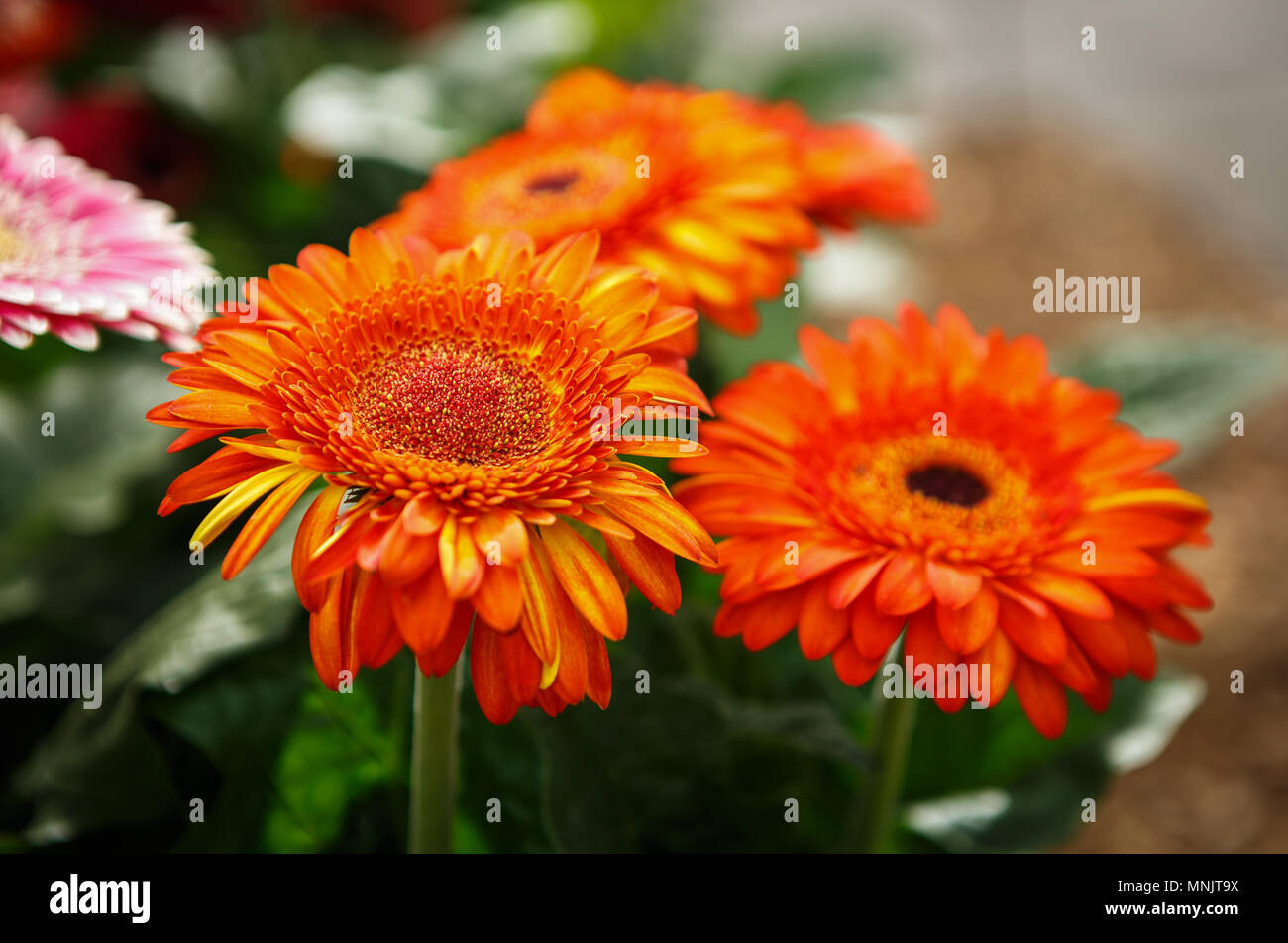 Beautiful colorful orange transvaal daisy flowers bloom in spring garden.Decorative wallpaper with gerbera flower blossom in springtime.Beauty of natu - Stock Image