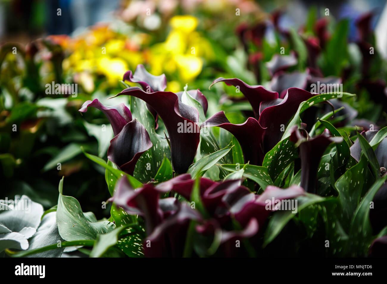 Calla Lillies Garden Stock Photos Calla Lillies Garden Stock