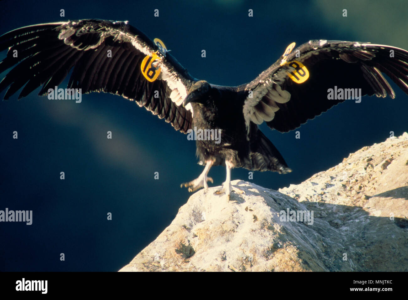 CALIFORNIA CONDOR (GYMNOGYPS CALIFORNIANUS) JUVENILE CONDORS IN THE WILD FEEDING ON DEAD ANIMAL [ENDANGERED SPECIES] / LOS PADRES NATIONAL FOREST, CAL Stock Photo
