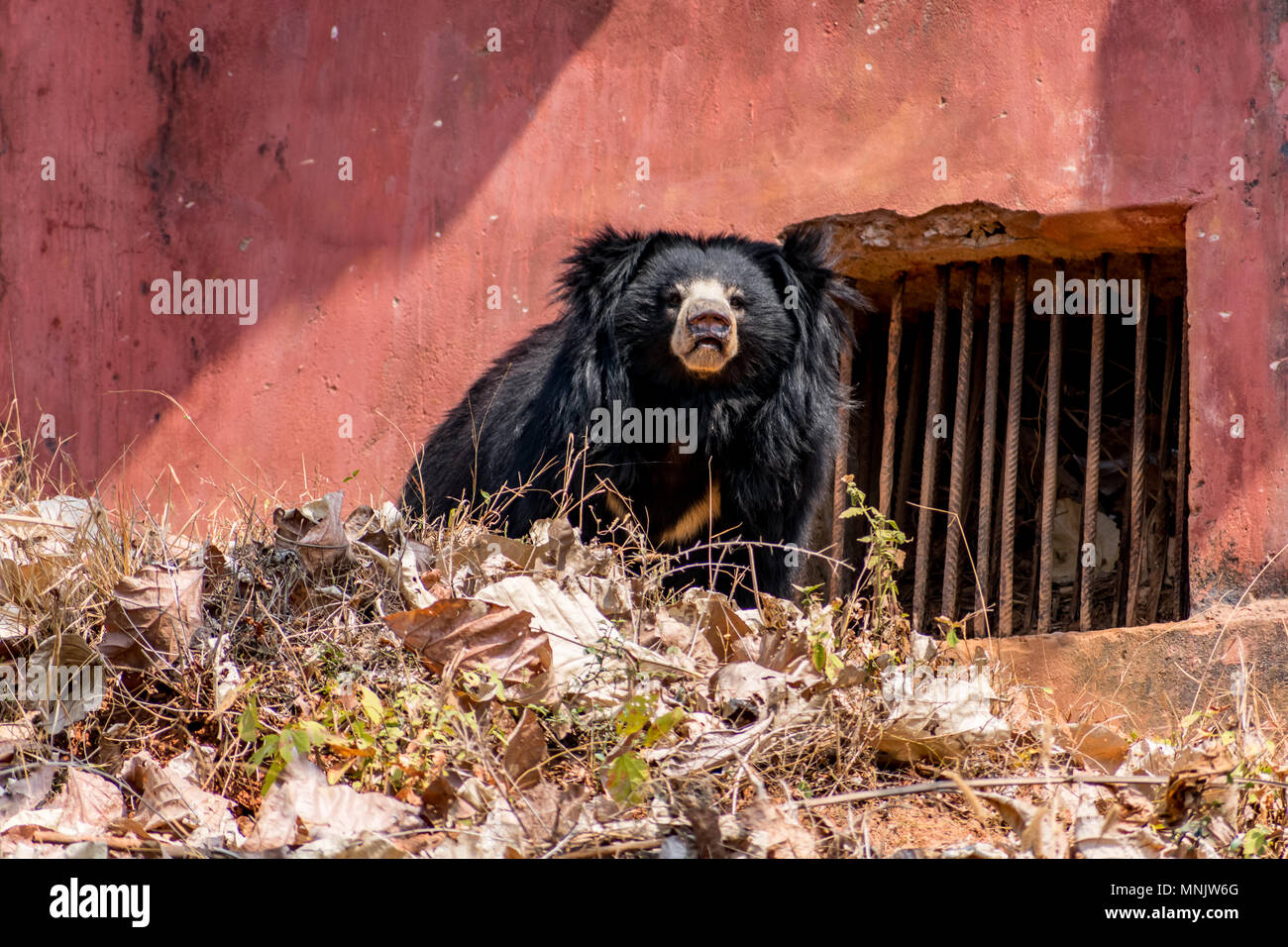 Close view of black bear at indian zoo shouting very loudly. - Stock Image