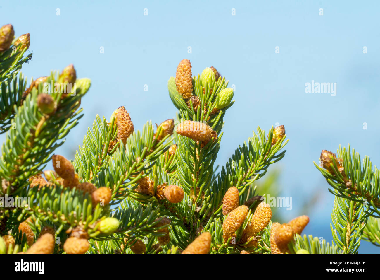 Fresh fir branches with pine cones in Denmark - Stock Image