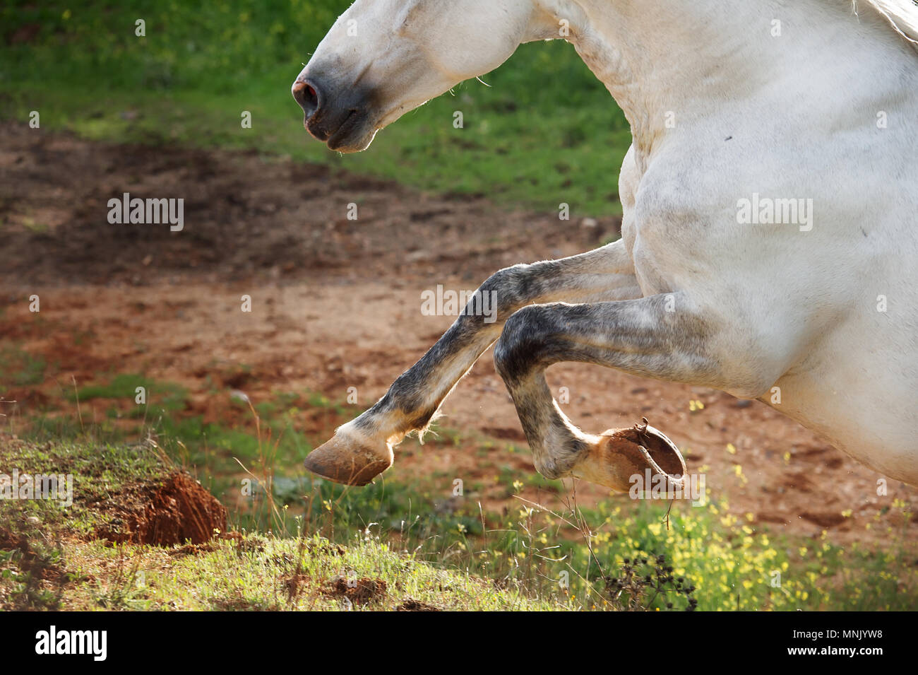 running  sandy Andalusian stallion in olive garden. close up - Stock Image