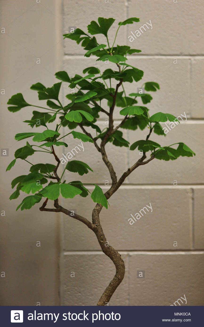 Ginkgo Bonsai Tree High Resolution Stock Photography And Images Alamy
