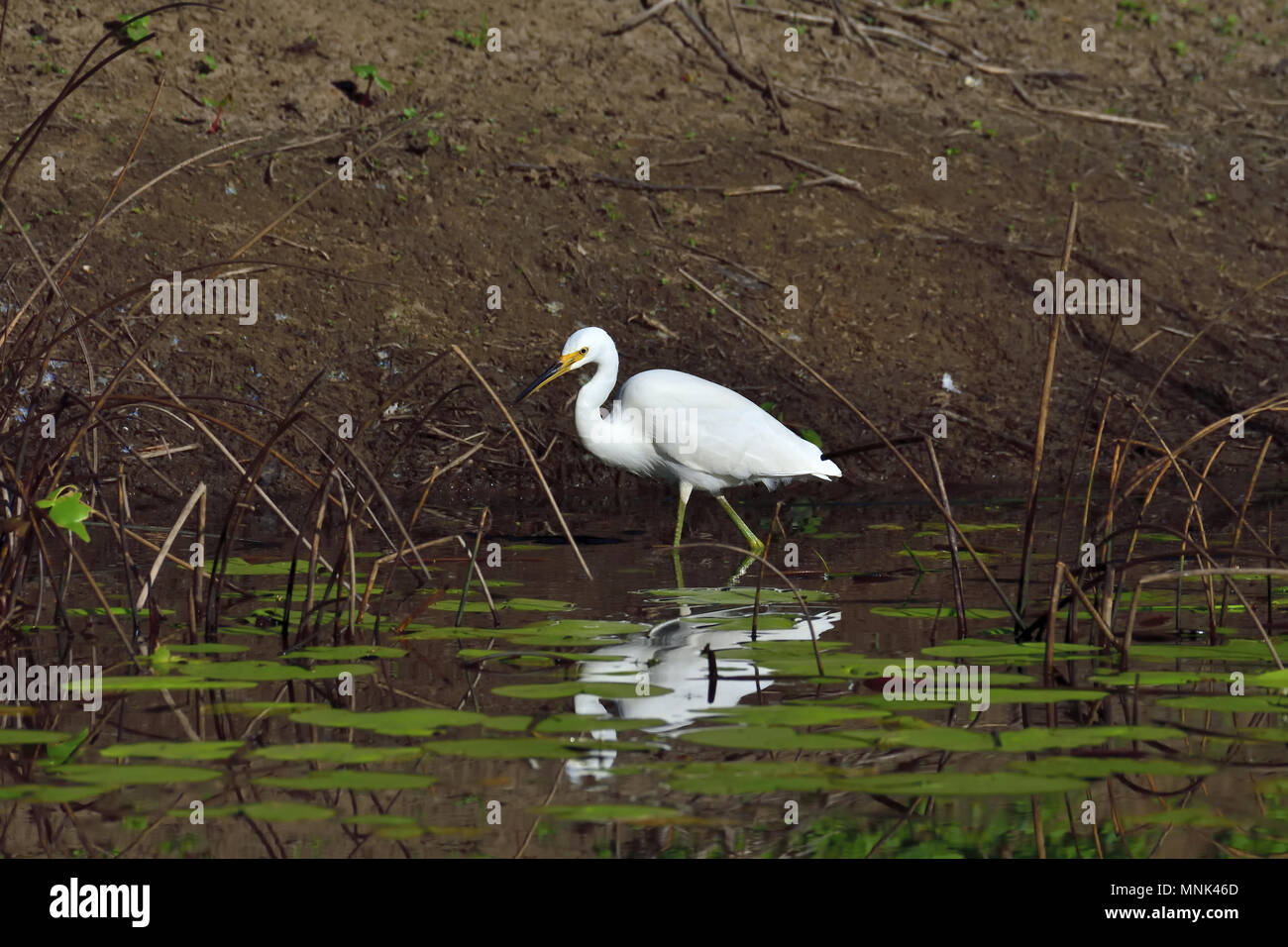 An Australian, Queensland immature Little Egret, Egretta garzetta looking for food in a Lagoon - Stock Image